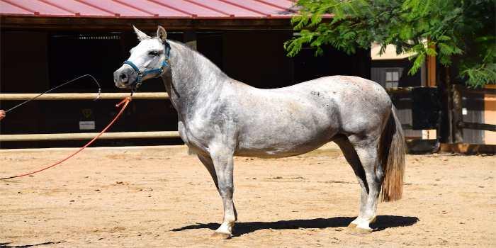ein weißes Pferd an der Leine