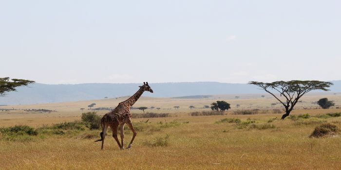 Giraffe in der Steppe