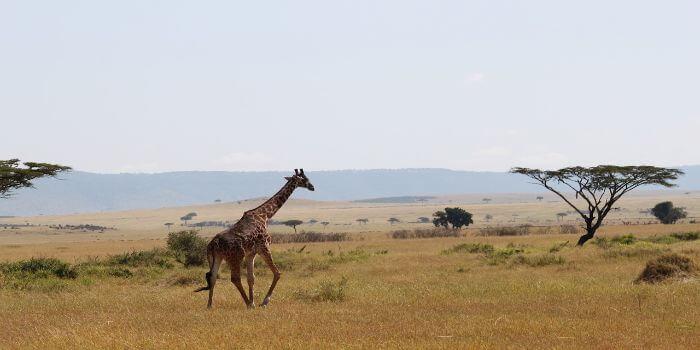 Giraffe in der Steppe