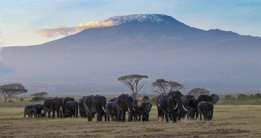 Eine Elefantenherde mit dem Kilimandscharo im Hintergrund.