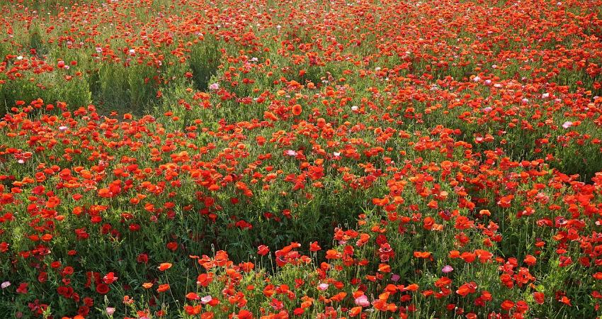 Bild von einem Mohnblumenfeld