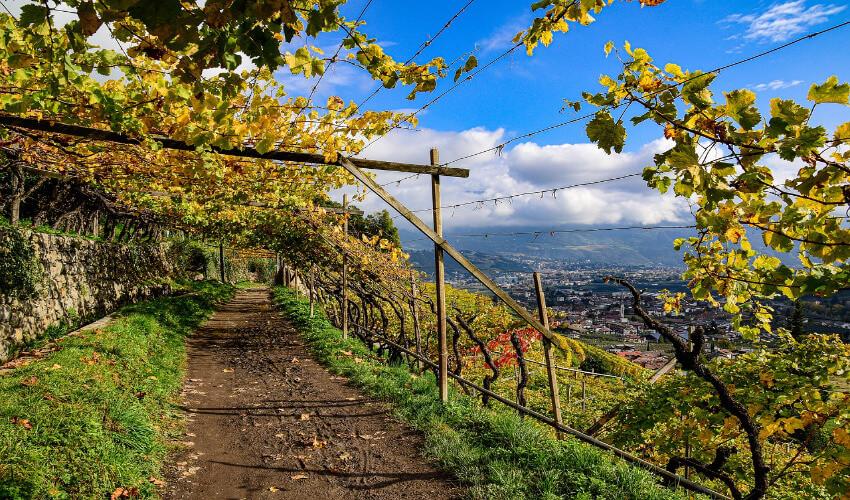 Ein Wanderweg, der unter Weinreben führt, die durch Drahtseile gehalten werden.