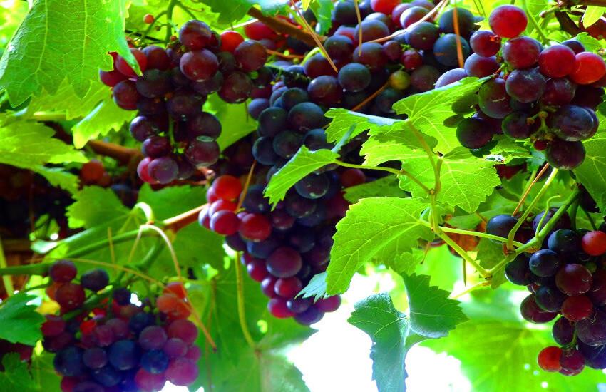 Rote Weintrauben Rebe in Südtirol.