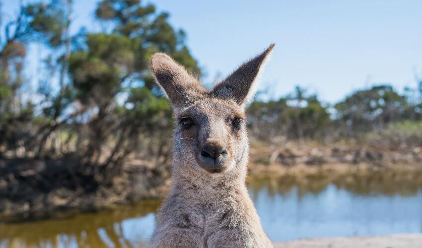 Ein süßes Kangaroo starrt in die Kamera.
