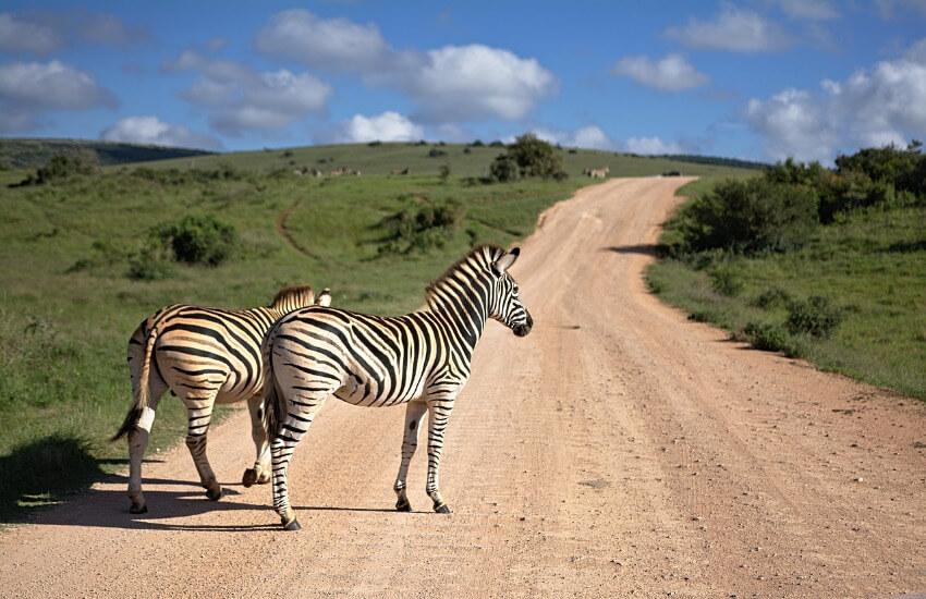 Zwei Zebras stehen auf einer Sandpiste.